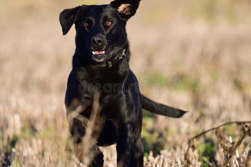 Lopend zwart Labrador royalty-vrije stock foto's