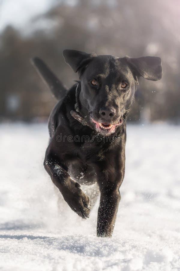 Lopend zwart Labrador stock afbeelding