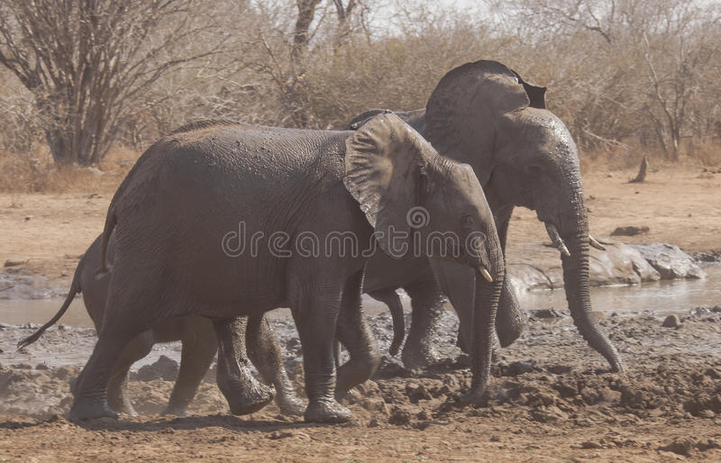Lopende Afrikaanse olifantskereltjes stock foto's