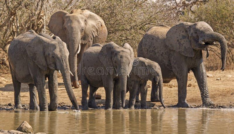 Lopende Afrikaanse olifantskereltjes stock fotografie