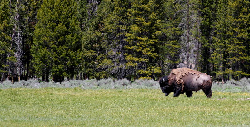 Lopende Buffels royalty-vrije stock foto