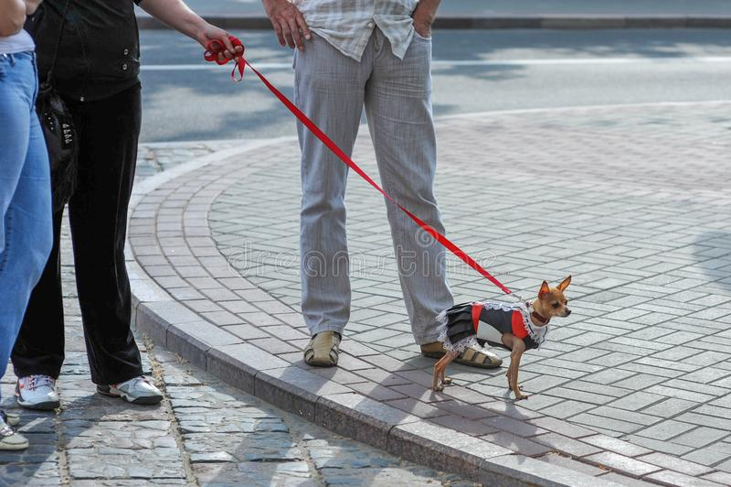 Lopende geklede hond De eigenaar kleedde de hond royalty-vrije stock afbeelding