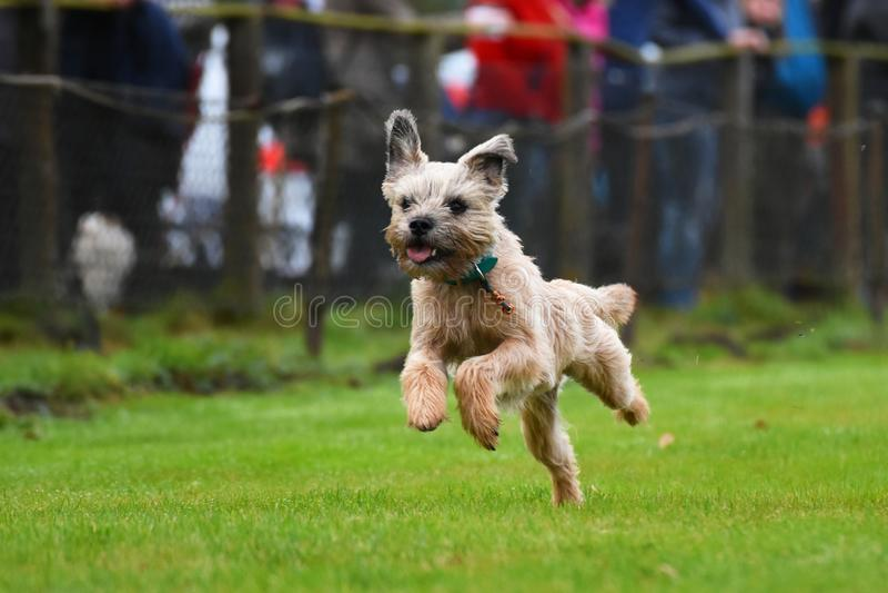 Lopende Grens Terrier royalty-vrije stock afbeelding