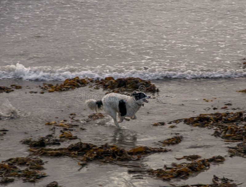 Lopende hond bij het strand royalty-vrije stock foto