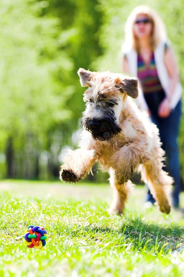 Lopende hond op groen gras stock afbeeldingen