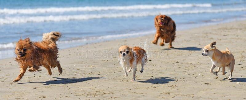 Lopende honden op het strand royalty-vrije stock foto's