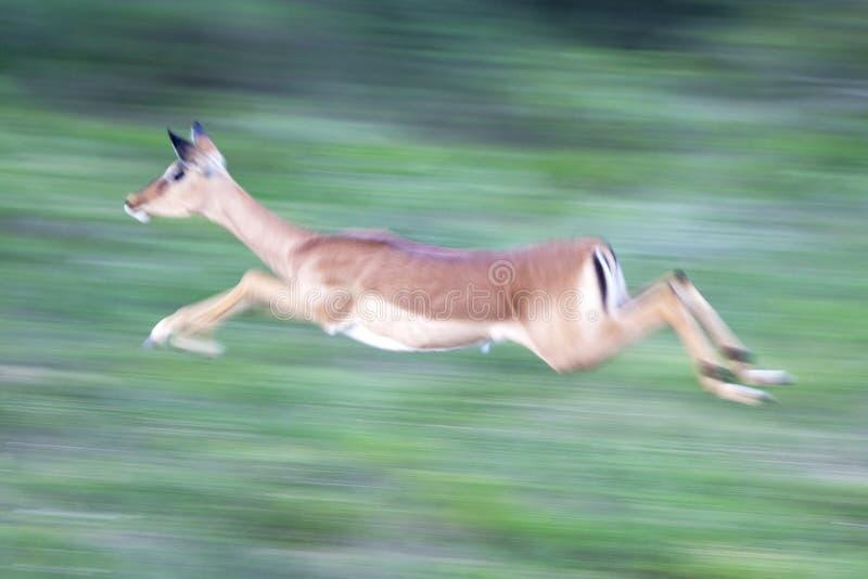 Lopende impala royalty-vrije stock afbeeldingen