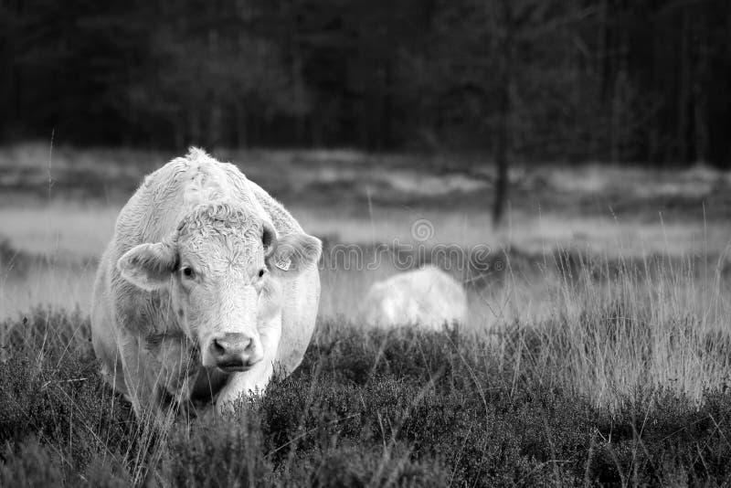 lopende koe royalty-vrije stock foto
