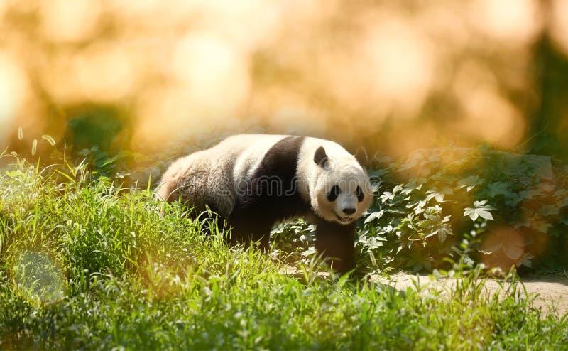 Lopende panda, Sichuan Wolong, China