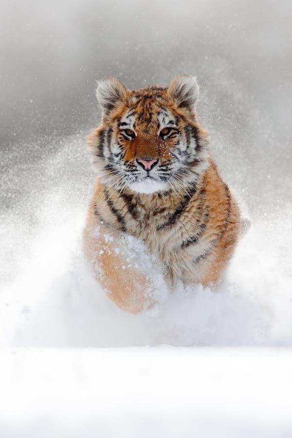 Lopende tijger met sneeuwgezicht Tijger in wilde de winteraard Amurtijger die in de sneeuw lopen De scène van het actiewild, geva stock afbeelding