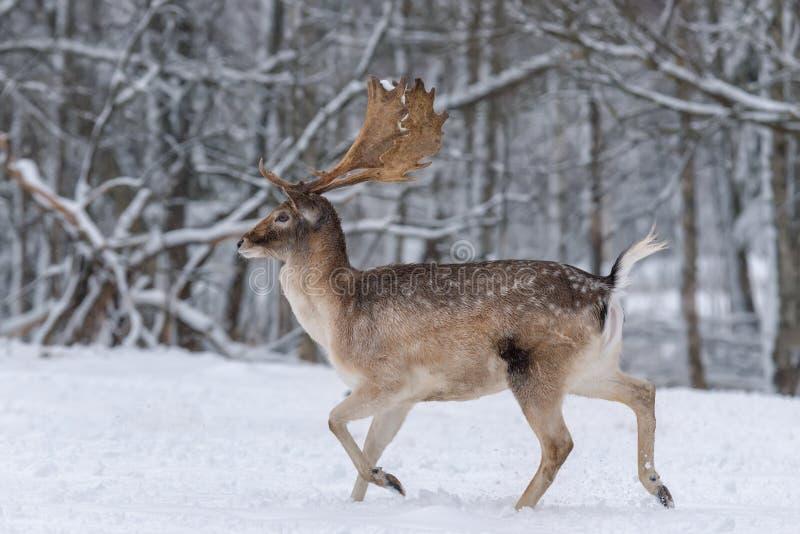 Lopende Volwassen Damherten De winterverhaal met Mannelijke Hertendamherten, Dama Dama, Daniel In The Natural Habitat Herten op S stock fotografie