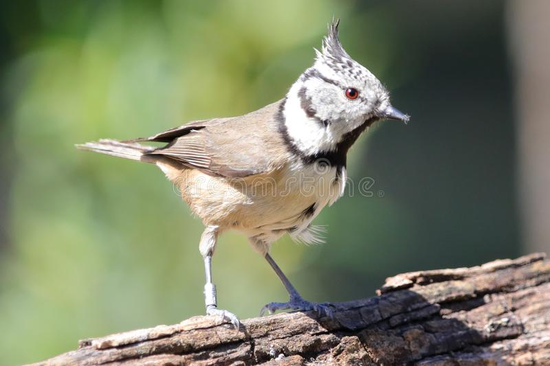 Lophophanes cristatus,滑稽的小鸟 免版税图库摄影