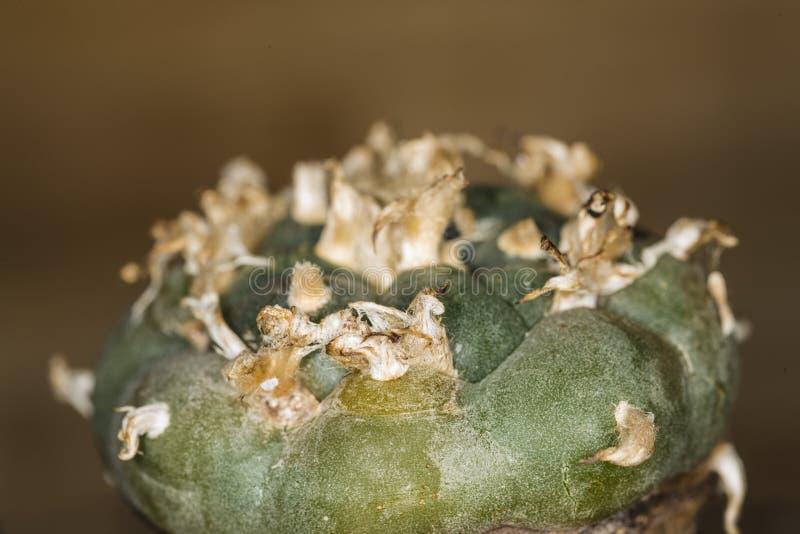 Lophora, peyote, cactus ritual imágenes de archivo libres de regalías