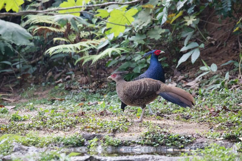 Lophura leucomelanos/The kalij or kaleege pheasant. Lophura leucomelanos The kalij/kaleege pheasant is found in the Himalayan foothills. Males have a total royalty free stock photos