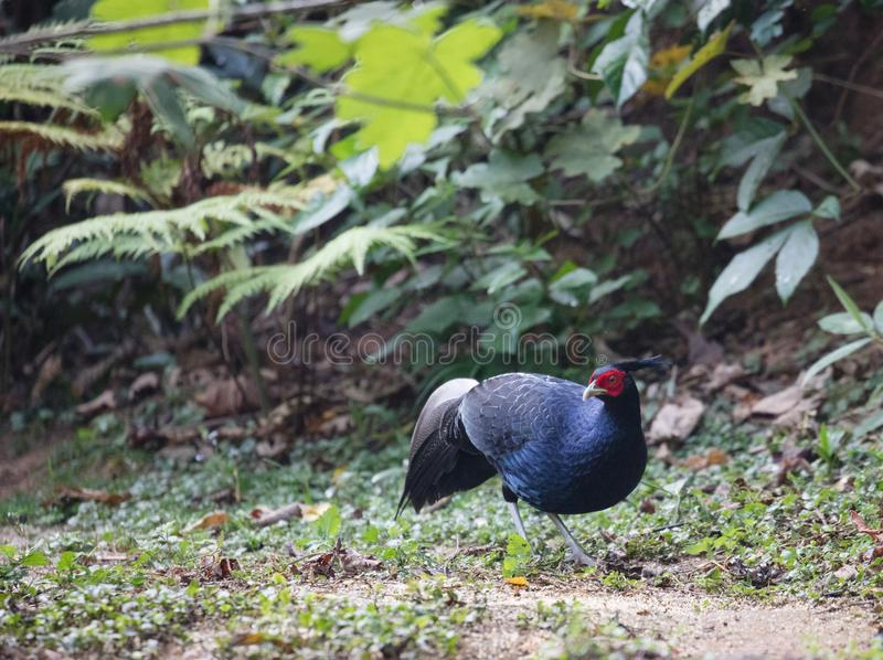 Lophura leucomelanos/The kalij or kaleege pheasant. Lophura leucomelanos The kalij/kaleege pheasant is found in the Himalayan foothills. Males have a total stock photo