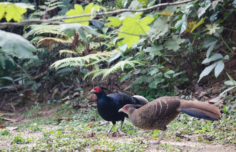 Lophura leucomelanos/The kalij or kaleege pheasant. Lophura leucomelanos The kalij/kaleege pheasant is found in the Himalayan foothills. Males have a total royalty free stock photo