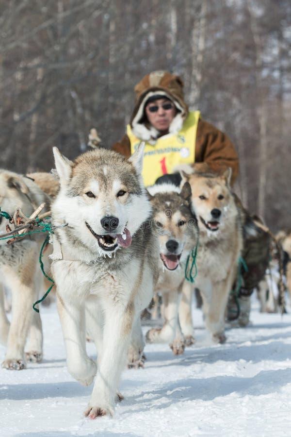 Lopp Beringia för Kamchatka extremt hundpulka Ryska Far East arkivbilder