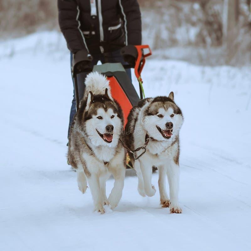 Lopp för slädehund royaltyfri fotografi