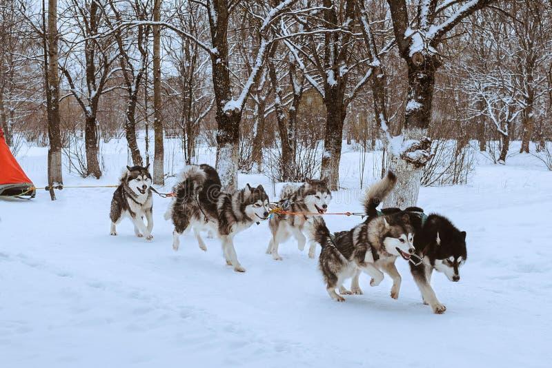Lopp för slädehund fotografering för bildbyråer