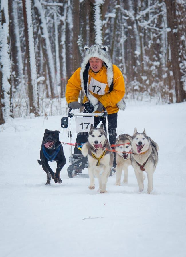 Lopp för slädehund i Kharkiv, Ukraina royaltyfri fotografi