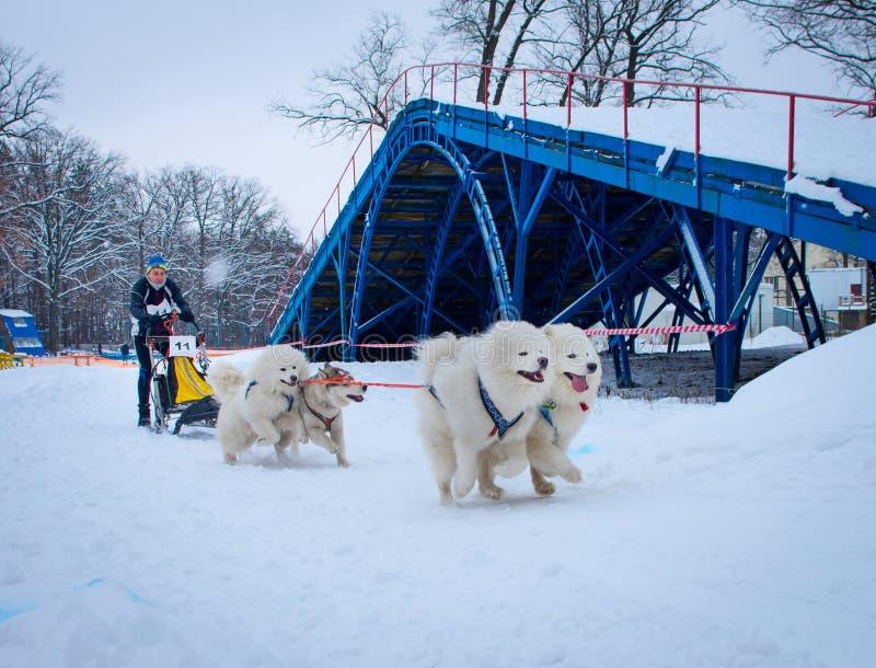 Lopp för slädehund i Kharkiv, Ukraina royaltyfri foto