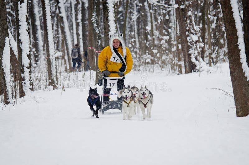Lopp för slädehund i Kharkiv, Ukraina arkivfoton