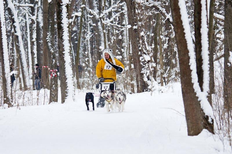 Lopp för slädehund i Kharkiv, Ukraina royaltyfri bild