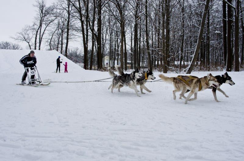 Lopp för slädehund i Kharkiv, Ukraina royaltyfria bilder