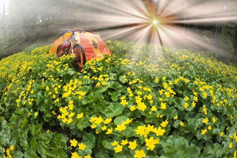 Lopp med blomman carpathians royaltyfri bild