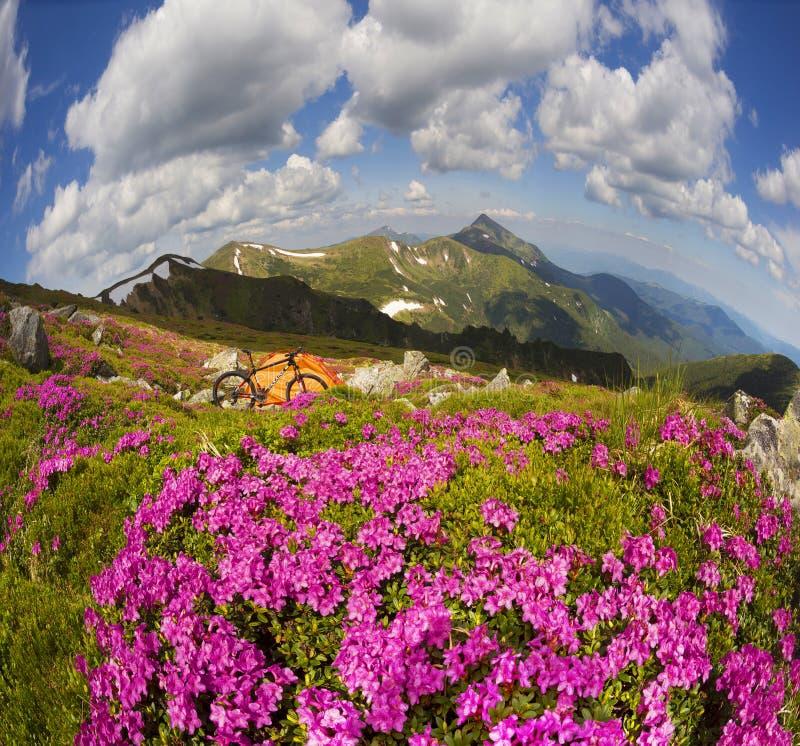 Lopp med blomman carpathians arkivbild