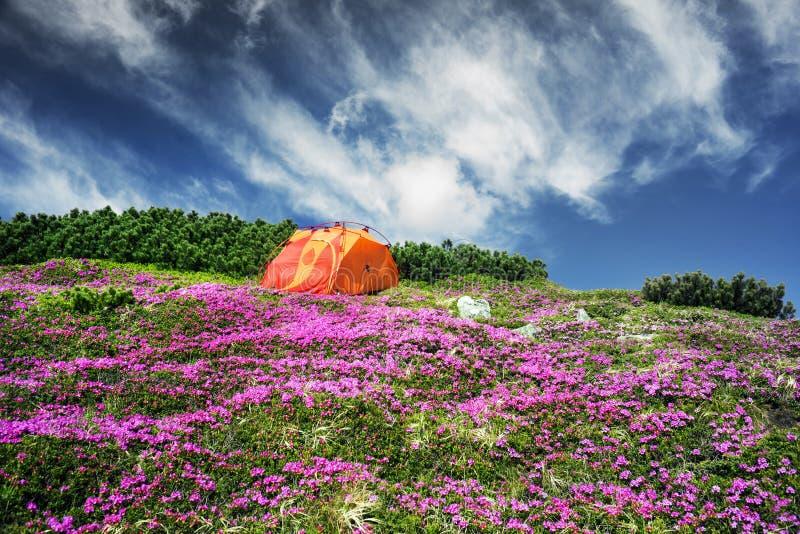 Lopp med blomman carpathians royaltyfri foto