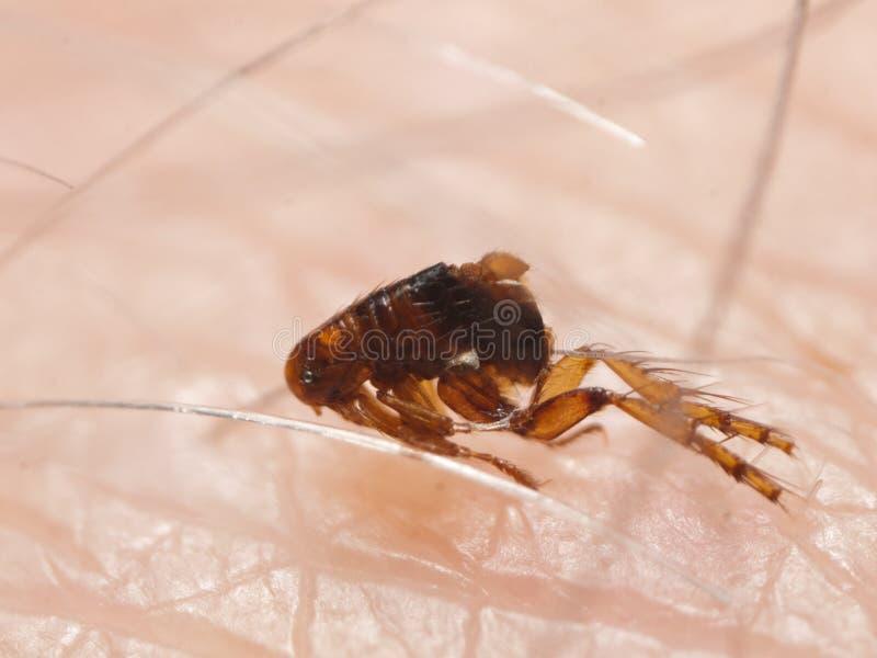 LoppaSiphonaptera på mänsklig hud royaltyfri fotografi