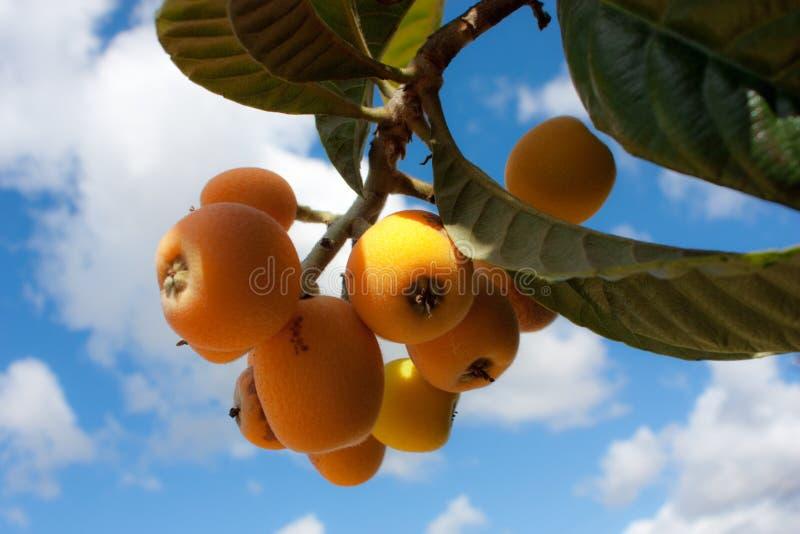 loquat δέντρο στοκ φωτογραφία