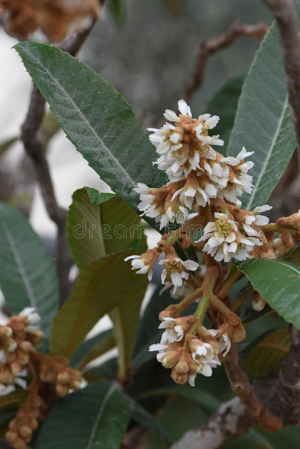 Loquat blossom stock photos