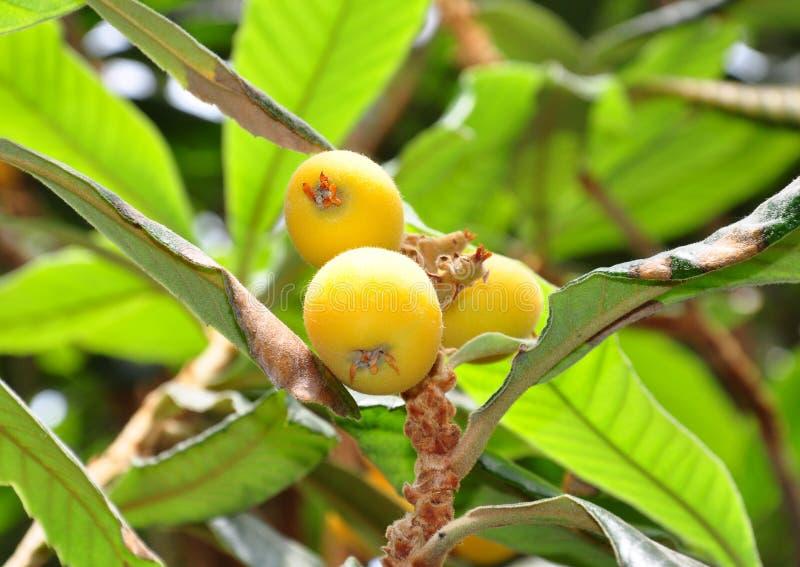 Loquat (japonica del Eriobotrya) fotografía de archivo