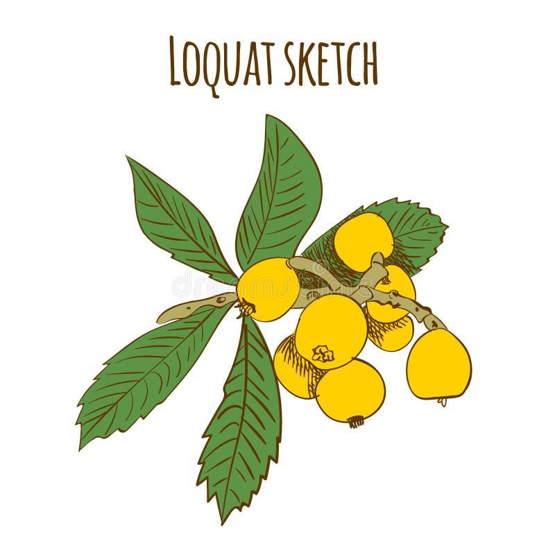 Loquat kleurde schets op wit wordt geïsoleerd dat Vector illustratie stock illustratie