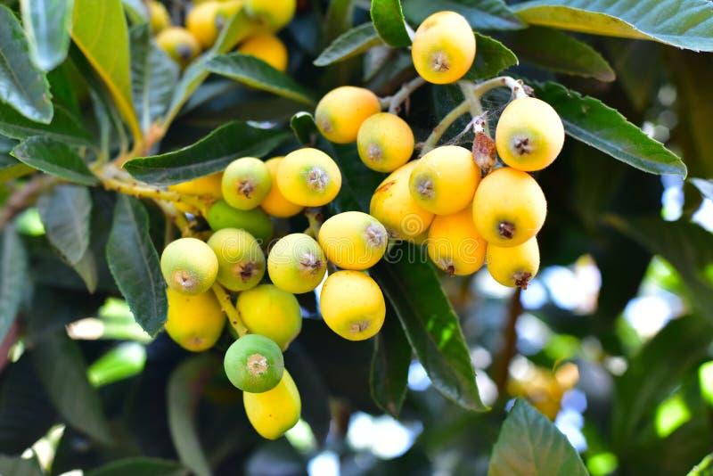 Loquat tree plant stock images