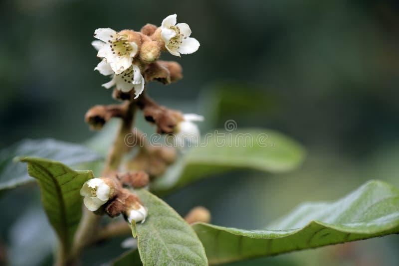Loquatbaum in der Blüte lizenzfreie stockfotos
