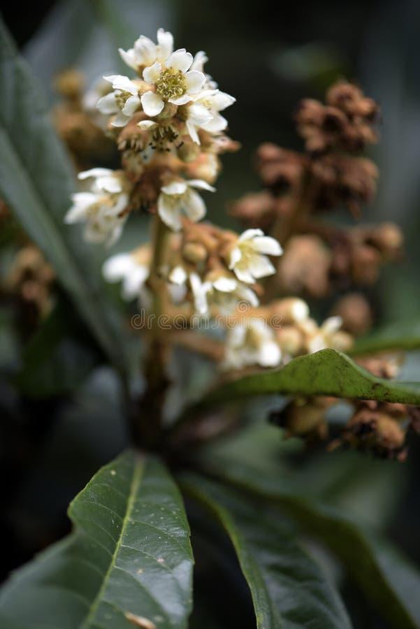 Loquatbaum in der Blüte lizenzfreies stockfoto