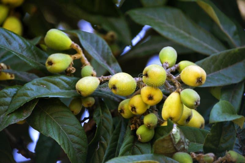 Loquatbaum mit reifen Früchten stockfoto