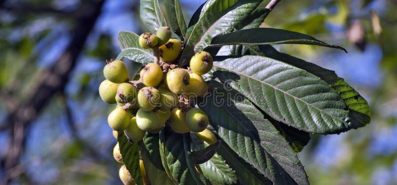 Loquatbaum mit reifen Früchten lizenzfreie stockfotografie