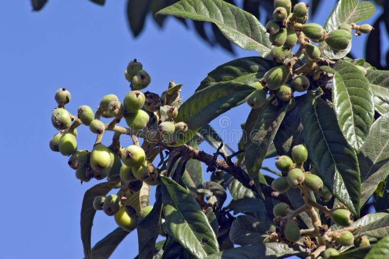 Loquatbaum mit reifen Früchten stockfotografie