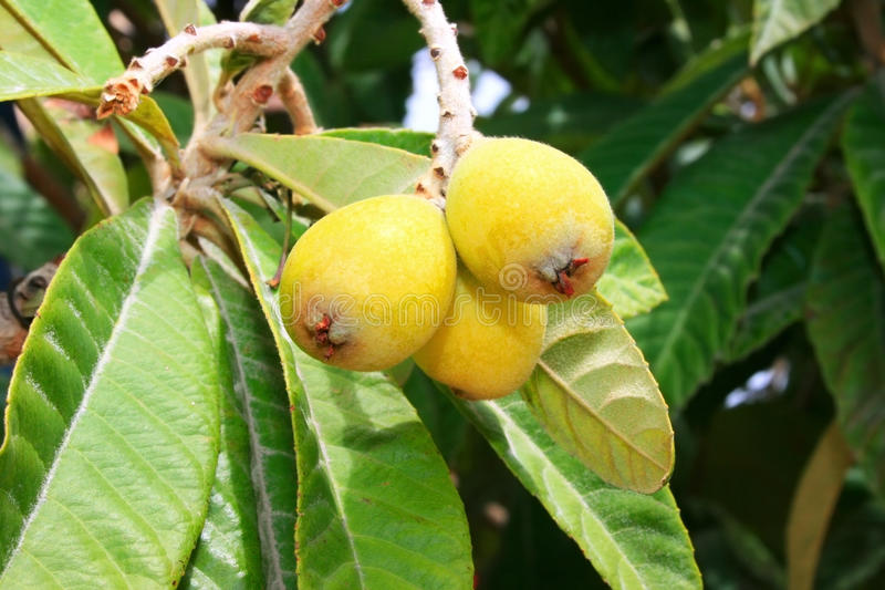 Download Loquats on tree stock image. Image of healthy, floral - 13481847