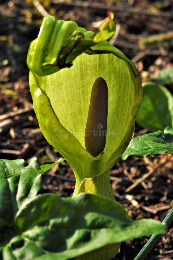 Lords en Dame` s bloem - Aronskelkmaculatum stock fotografie