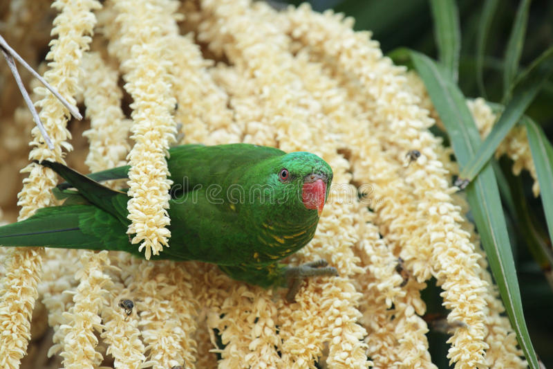 Lorikeet Écallieux-breasted images stock