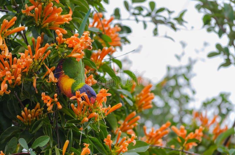 Lorikeet που τρώει τα πορτοκαλιά λουλούδια αναρριχητικών φυτών σαλπίγγων στοκ φωτογραφία