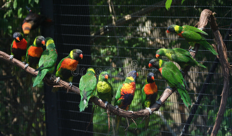 Lorikeet stock photography