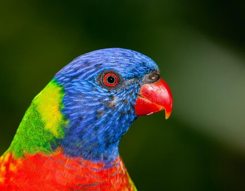 Download Lorikeet australien photo stock. Image du lumineux, forêt - 45362718