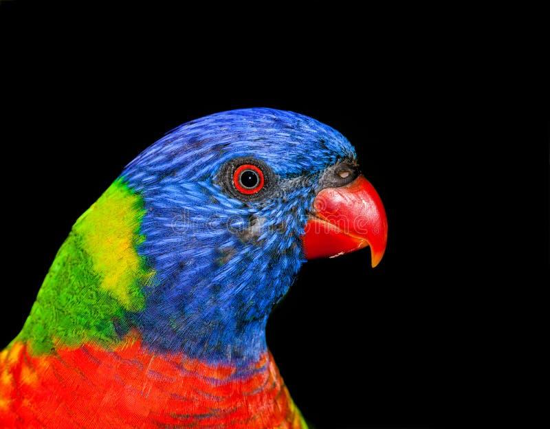 Download Lorikeet australien photo stock. Image du oeil, forêt - 45362724