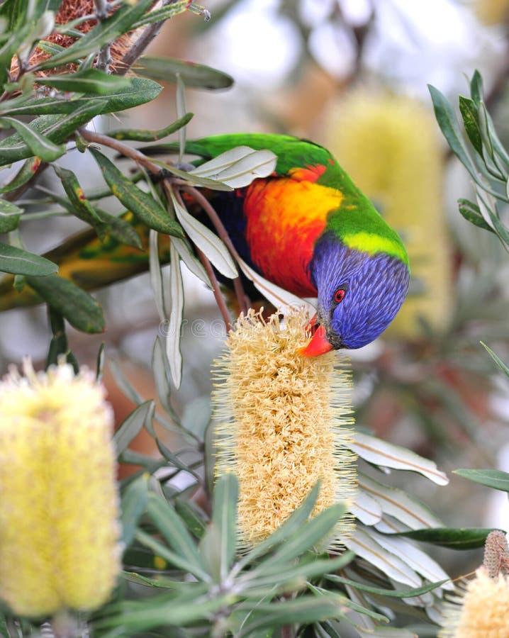 Lorikeet australien d'arc-en-ciel dans la configuration tropicale images libres de droits